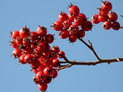 Alıç Meyvesinin Faydaları ve Zararları Nelerdir? Nerelerde Yetişir? Ne Zaman Toplanır?