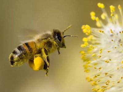 Arı Sokmasının Faydaları Nelerdir? Ne İyi Gelir?