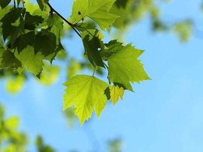 Çınar Yaprağını Kimler İçemez? Faydaları Nelerdir?