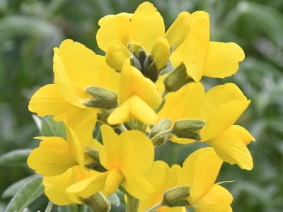 Eber Sarısı Çiçeği Ne İşe Yarar? Faydaları ve Zararları Nelerdir?