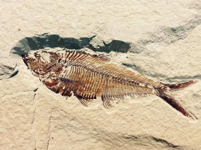 Fosil Nedir? Nasıl Oluşur? Yararları Nelerdir? Yaşı Nasıl Hesaplanır?