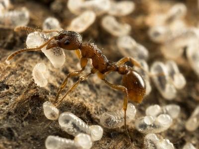 Karınca Yumurtası Yağı Nedir? Ne İşe Yarar? Kullananlar ve Yorumlar