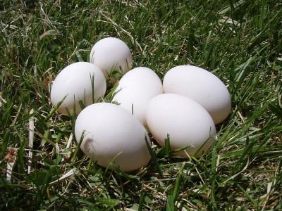 Ördek Yumurtası Nasıl Olur? Faydaları ve Zararları Nelerdir? Kaç Günde Çıkar?
