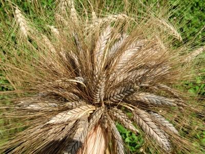 Siyez Buğdayı Nedir? Faydaları Nelerdir? Nerede Yetişir?