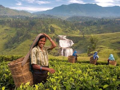 Sri Lanka Çayı Nedir? Faydaları Nelerdir? Nerede Satılır?